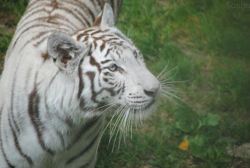 6 - Tigre blanc.