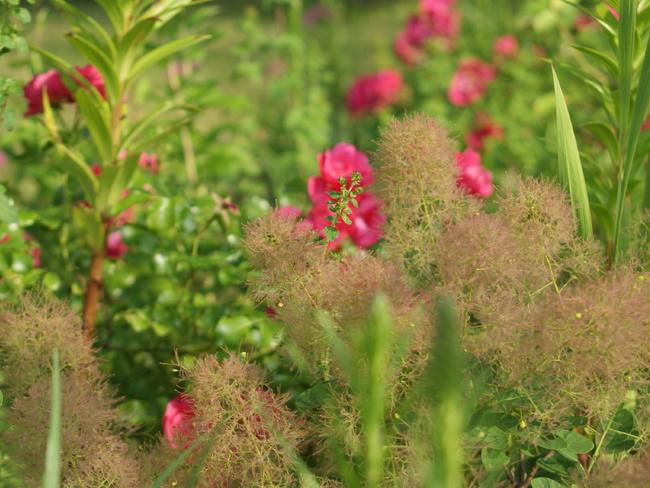 Des arbustes nains à intégrer dans les massifs