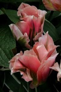 Tulipes Chinatown7