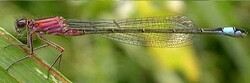 Ischnura elegans ♂ immature de type A (Ischnure élégante)