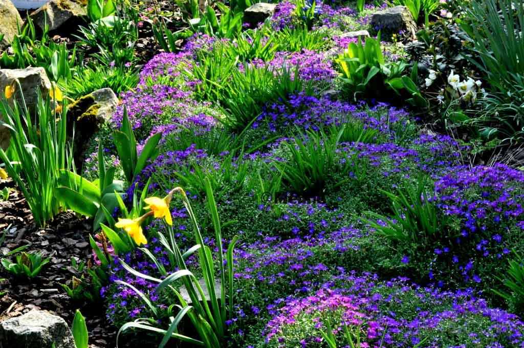 Mon jardin commence à revivre (5) Les jonquilles !