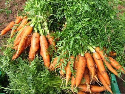 La carotte prépare votre peau au soleil en naturologie.