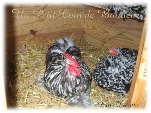 cooky et ses poulettes