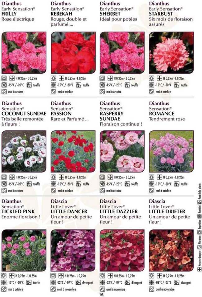 Fleurs cultivées : Dianthus