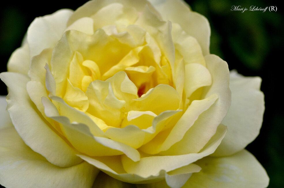 Trois p'tites Roses du jardin