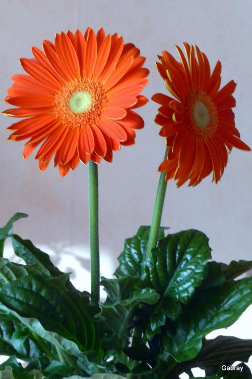 Fleurs d'intérieur à la couleur orange!