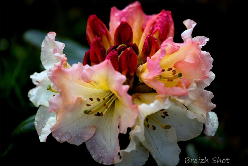 rhododendron dans les jardins