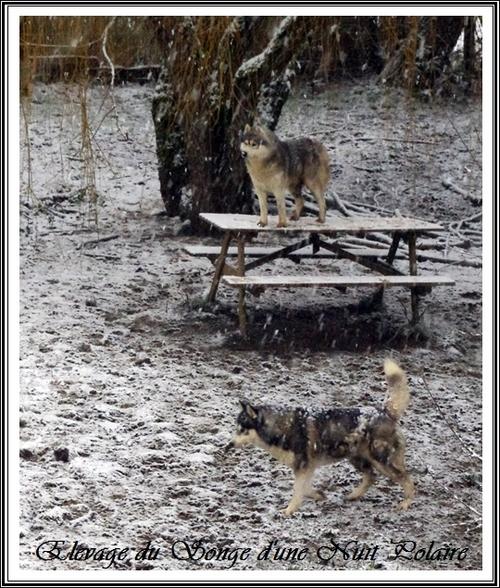 Huskys des neiges (3 février 2015)