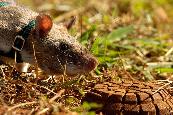 Le programme belge vous permet de former des rats gambiens pour découvrir des mines.