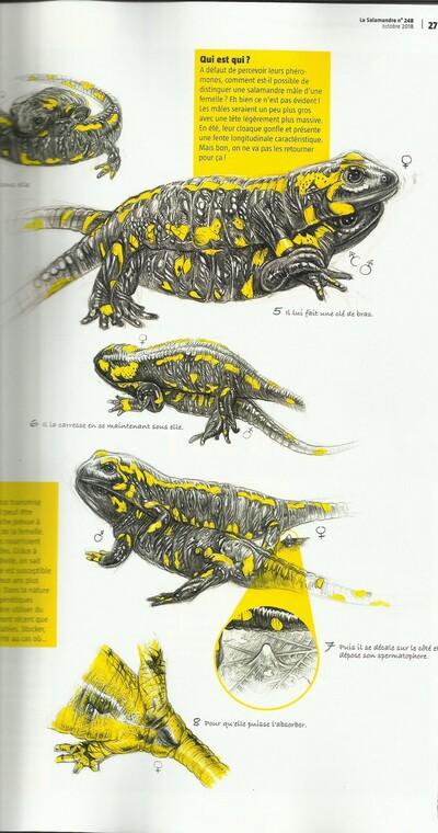 Un  dragon dans la mare : la salamandre