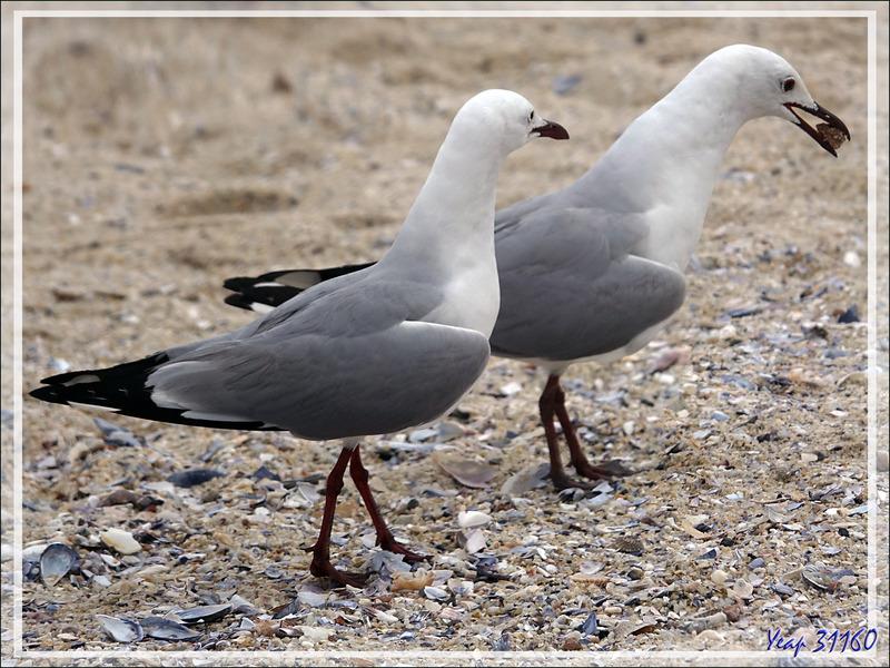 Mouette de Hartlaub, Hartlaub's Gull (Chroicocephalus hartlaubii - Camps Bay - Cape Town - Afrique du Sud