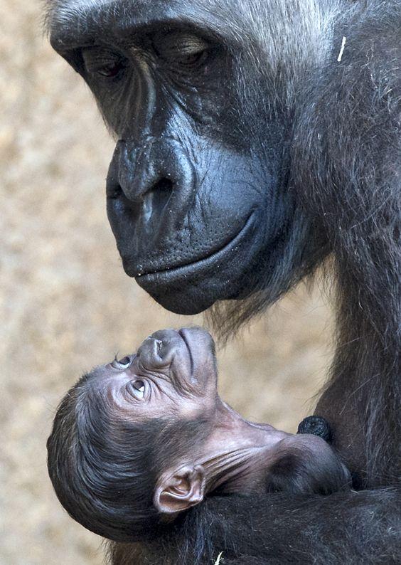 Le voir look. Gorilla mère bras Kumili son nouveau-né au zoo de Leipzig, en Allemagne centrale, levier Les Yeux. La maman gorille Kumili et fils nouveau né au zoo de Leipzig PHOTOGRAPHE AP PHOTO / JENS MEYER