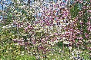 printemps_-arbres-fleuris-blancs-et-roses-1.jpg