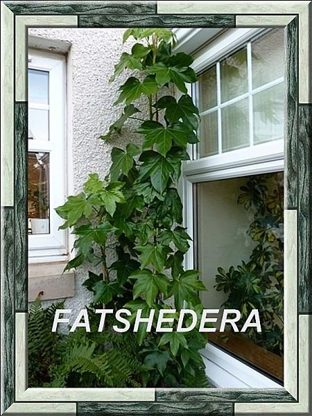 10 Fatshedera