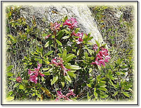 fleur-des-alpes-1.jpg