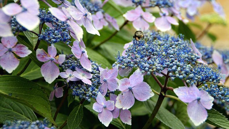Notes florales [Défi du lundi] - hydrangea - hortensia à bonnets de dentelle