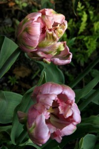 Tulipes Air2