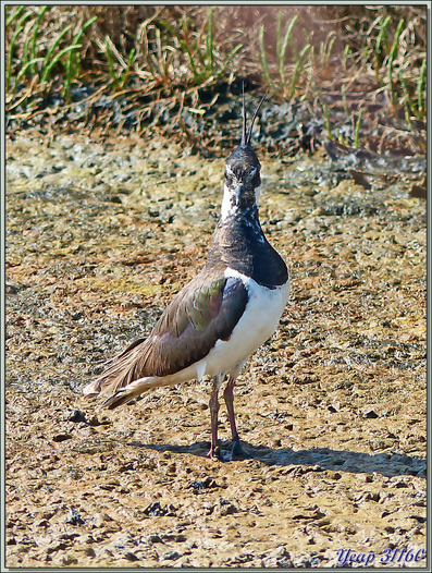 Vanneau huppé (Vanellus vanellus) - La Couarde-sur-Mer - Île de Ré - 17