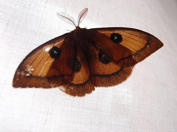 Saturniidae-Agliinae---Aglia-tau-L.---La-Hachette-2.jpg