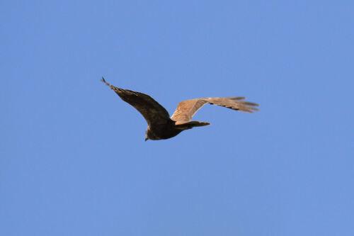 Busard des Roseaux (Western Marsh Harrier)