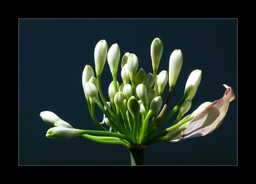 Inflorescences
