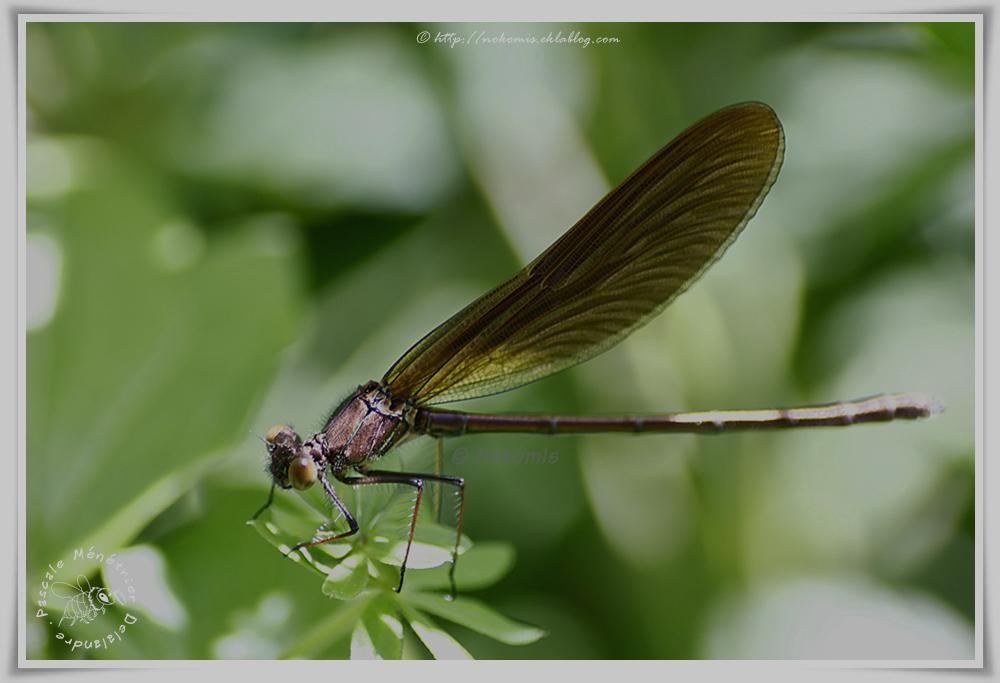 Calopteryx haemorrhoidalis mâle immature - Caloptéryx hémorroïdal