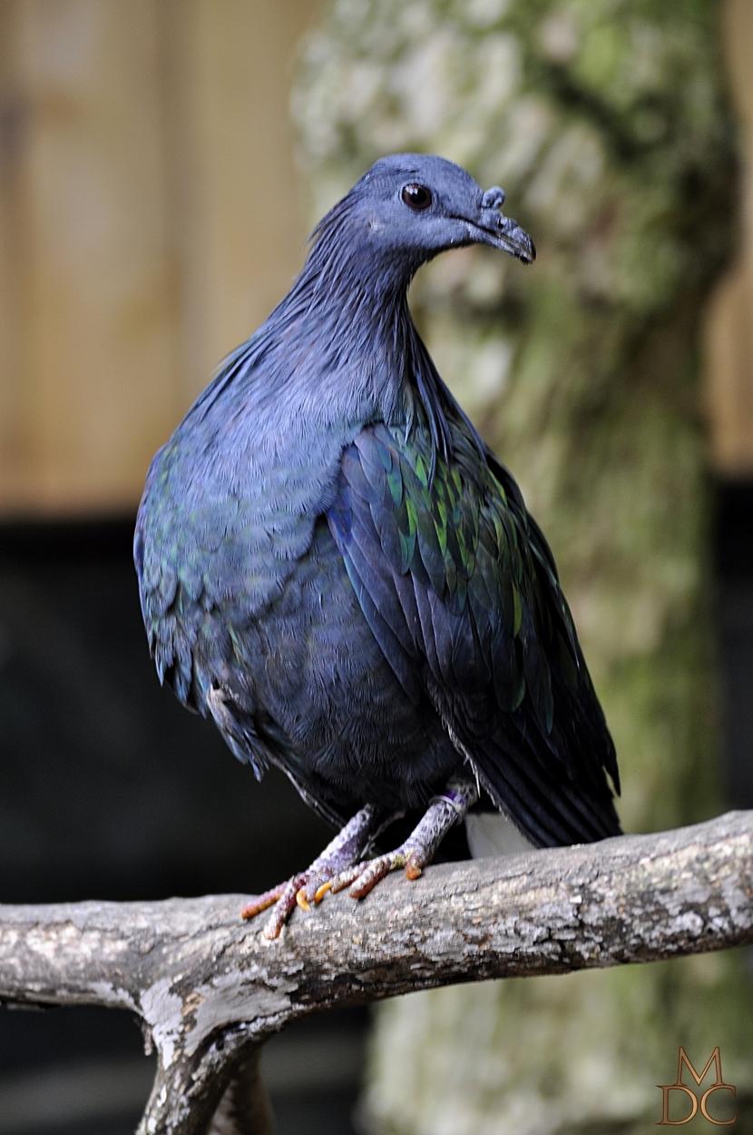 Pigeon de Nicobar (à camail)