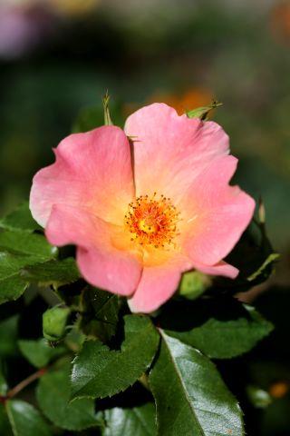 Les Roses de Warren : Yellow Changeling