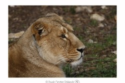 Lionne d'Asie