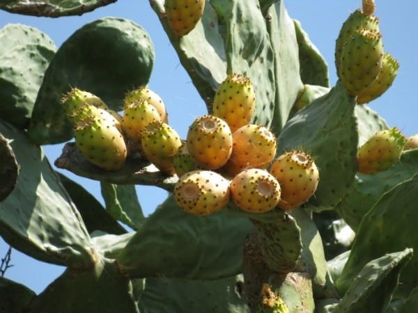 Barbary Fig fruits