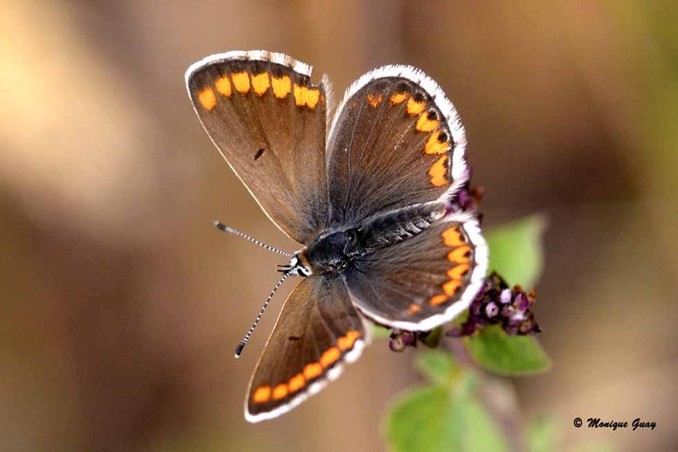 papillon Argus ou Azuré