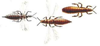 Vers et insectes parasites