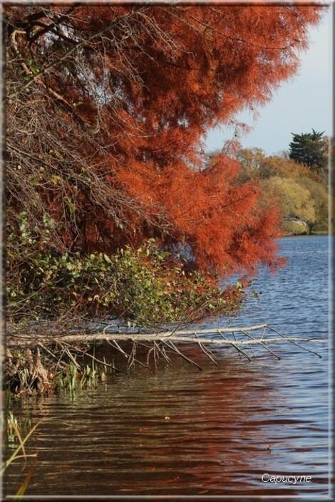 L'automne du cyprès chauve
