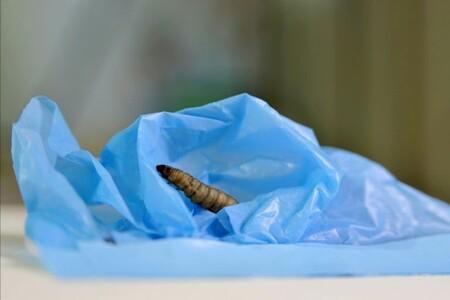 Une chercheuse vient de découvrir une larve capable de manger les sacs en plastique