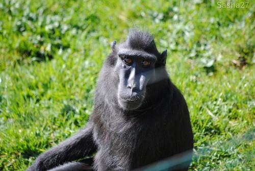 Le macaque noir à crête.
