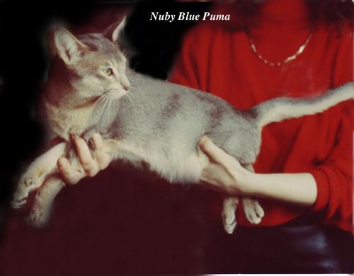 Nuby Blue Puma, abyssin bleu