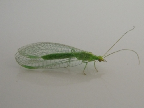 Petit insecte vert...