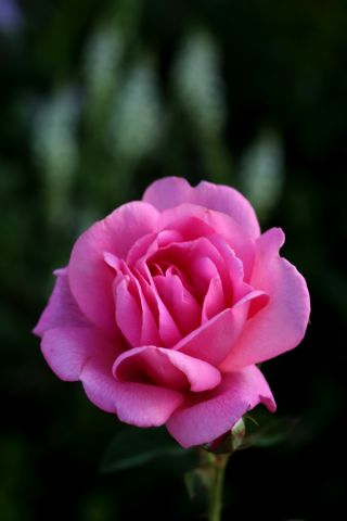 Les Roses de Warren : The Duchess