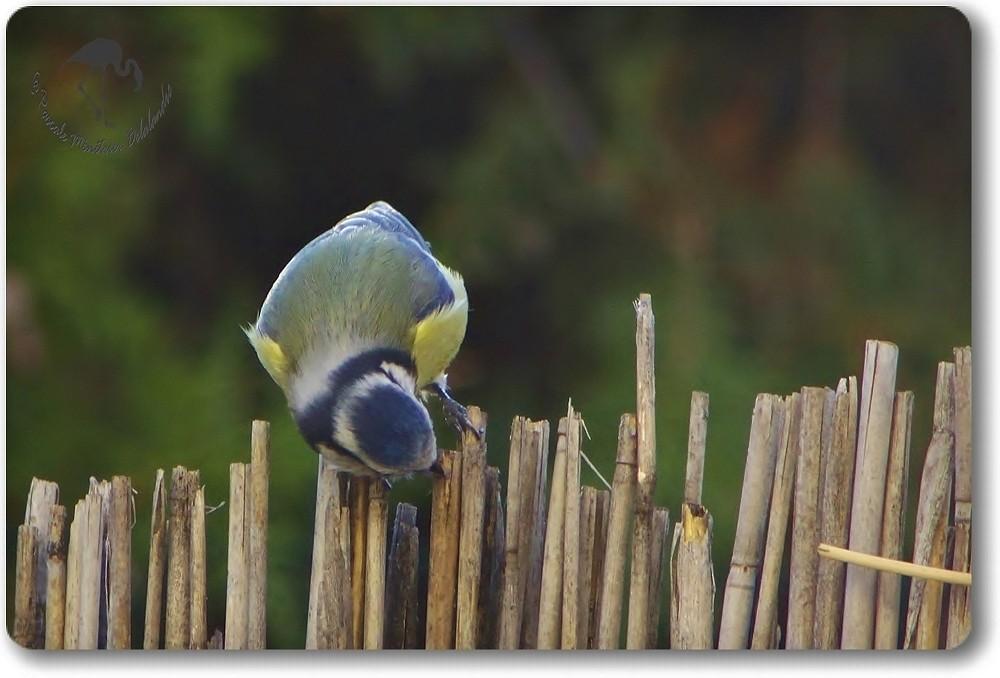 Mésange bleue inspectant les lieux...