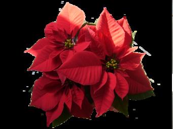 Fleurs de Noël / 3