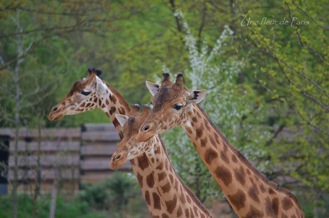 Parc Zoologique de Paris : La girafe d'Afrique de l'Ouest