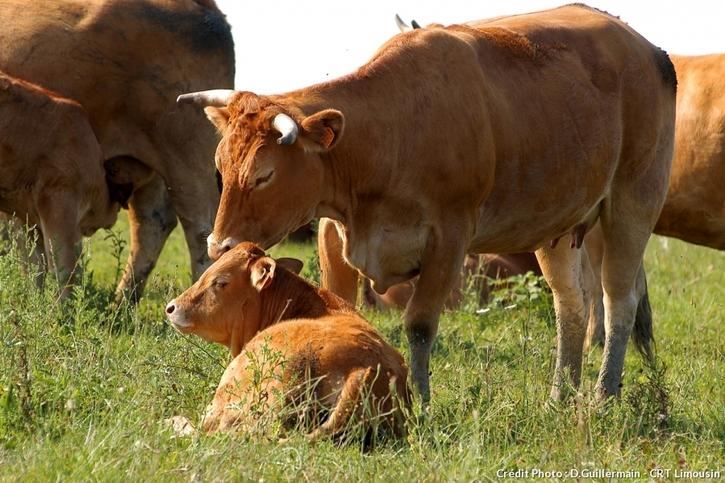 Vaches du Limousin