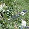 Piéride du chou (Pieris brassicae) femelle