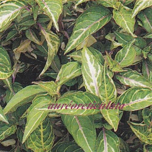 p Iresine herbstii Aureoreticulata