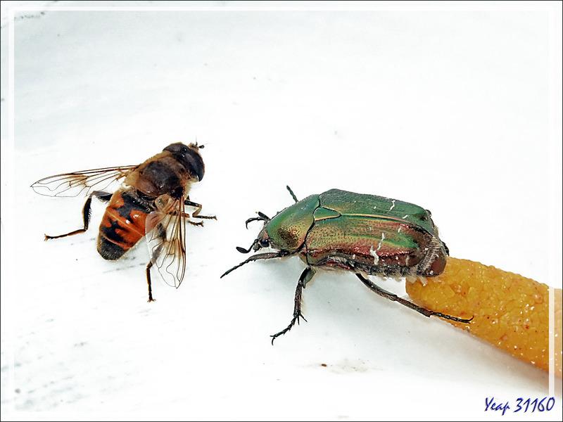 Cohabitations : Cétoine dorée / Syrphe, Syrphe / Mouche verte - Lartigau - Milhas - 31
