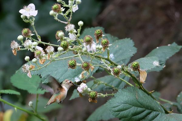 Allen's Hummingbird - Lily Pond