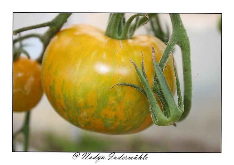 Les tomates de mon jardin en 2018