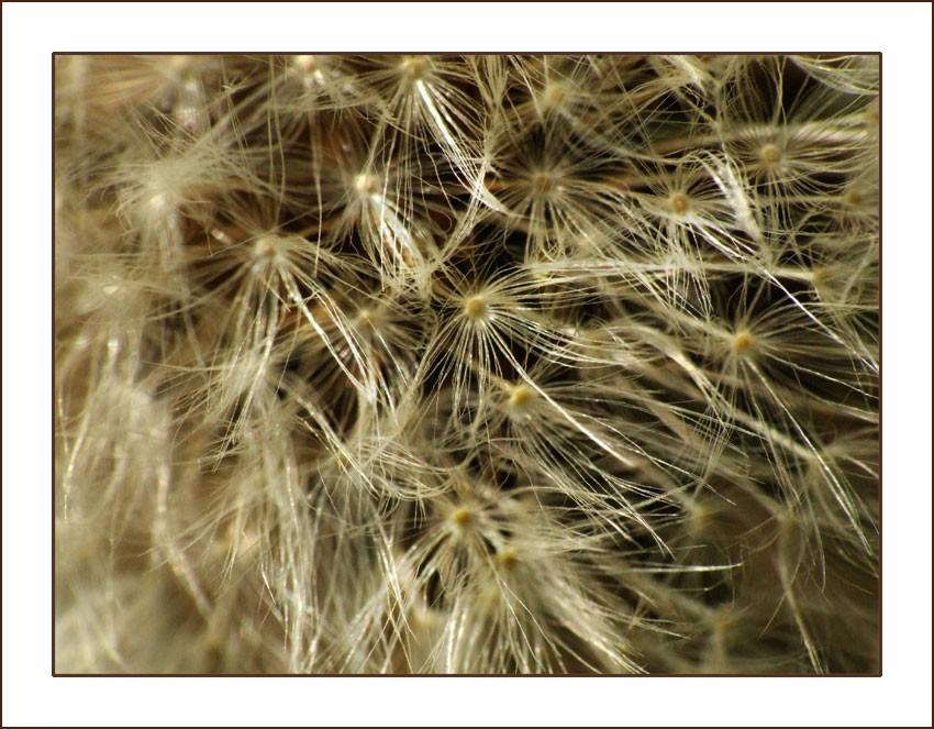 pissenlit, graine, fleur, macro, bonnette macro