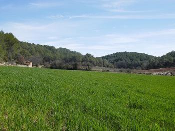 Champ de blé devant le cabanon Sara