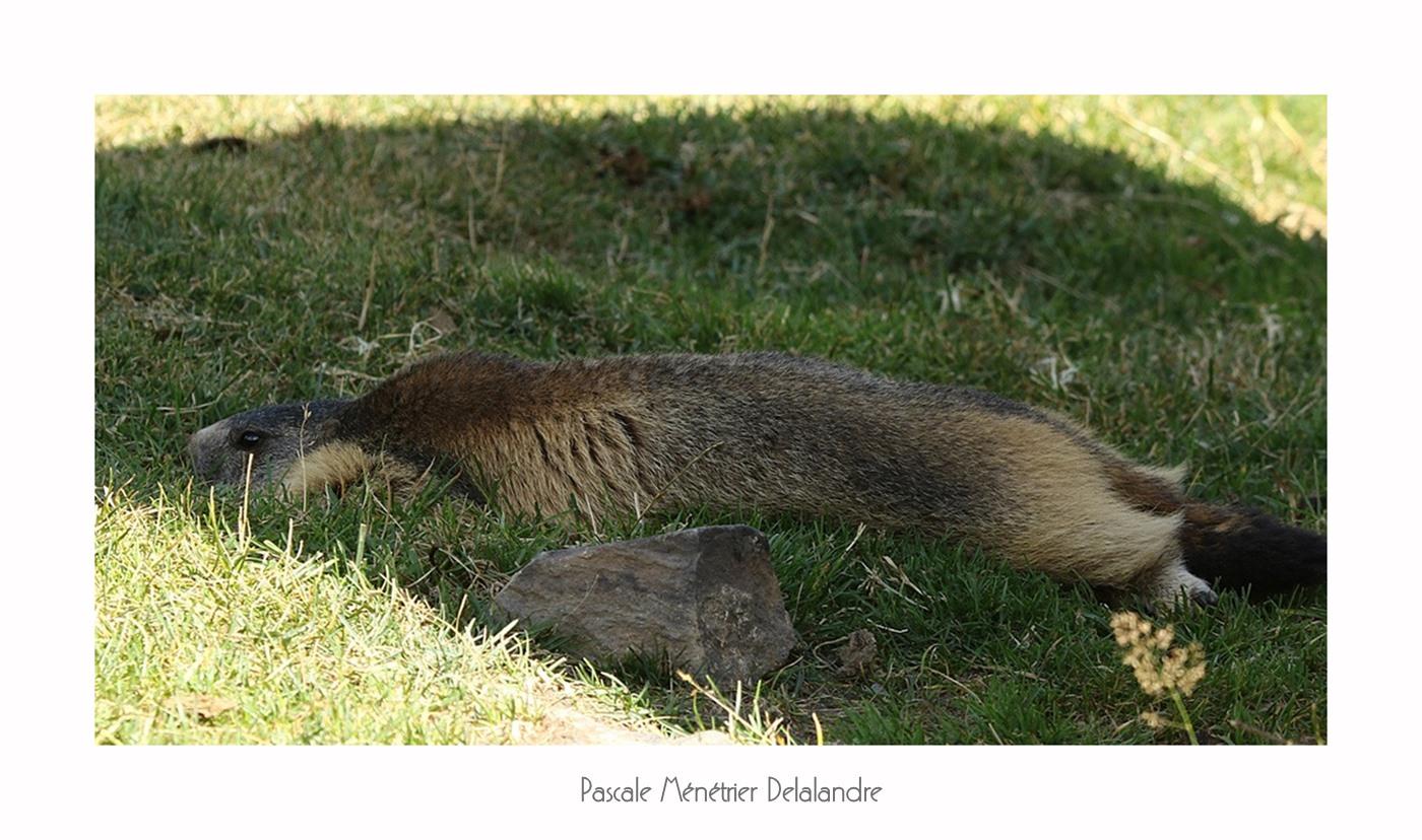 Quand les Marmottes des Hautes-Pyrénées profitent...